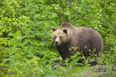 ursus: Brown bear in the forest Stock Photo