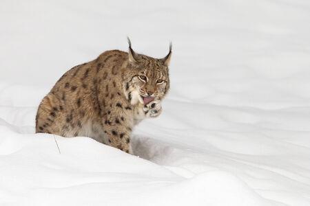 lince: Lince europeo (Lynx lynx) en la nieve