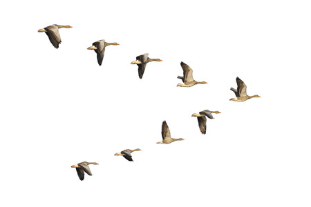 Flock of migrating greylag geese flying in V-formation.