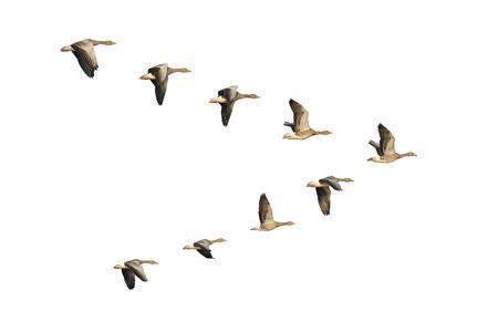 V 編隊飛行移行の greylag ガチョウの群れ。 写真素材
