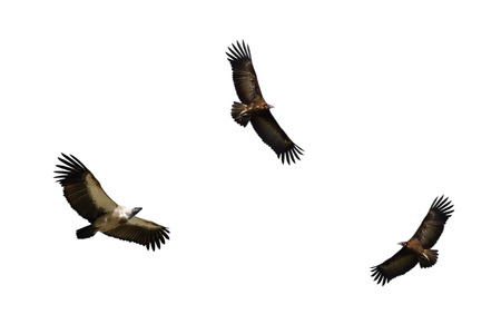 White-backed Vulture Hooded Vulture in Flight and Standard-Bild