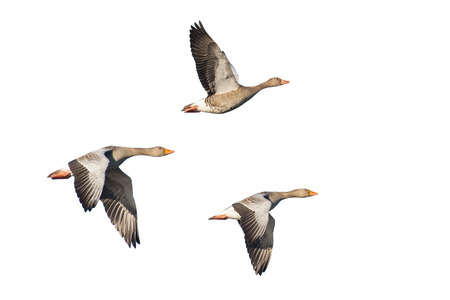 Three Flying greylag geese isolated on white Banque d'images
