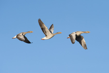 flying geese: Three greylag geese flying in a row Stock Photo