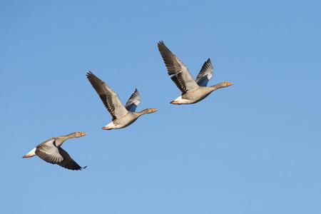 Three greylag geese flying in a row Standard-Bild