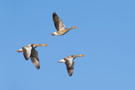 Three greylag geese flying Standard-Bild