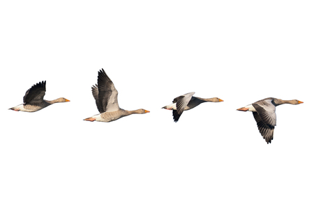 Four flying greylag geese isolated on white