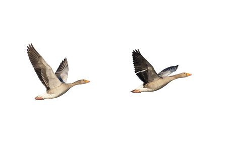 greylag: Two flying greylag geese isolated on white Stock Photo