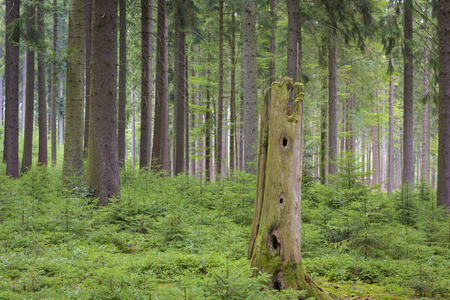 regeneration: Spruce forest, Natural regeneration