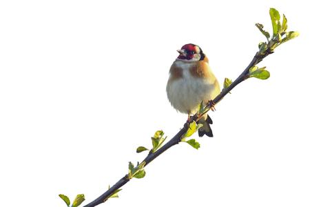 흰 배경에 고립 된 Goldfinch