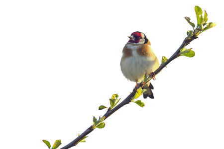 Goldfinch isolated on white background