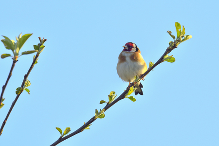 goldfinch: Goldfinch sitting on a branch Stock Photo