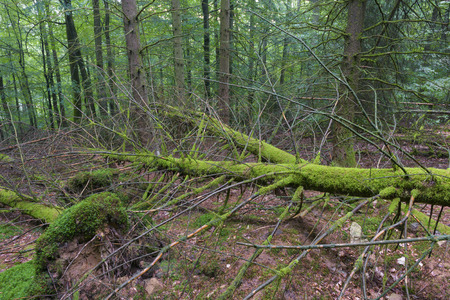 overthrown: Fallen trees in the forest Stock Photo