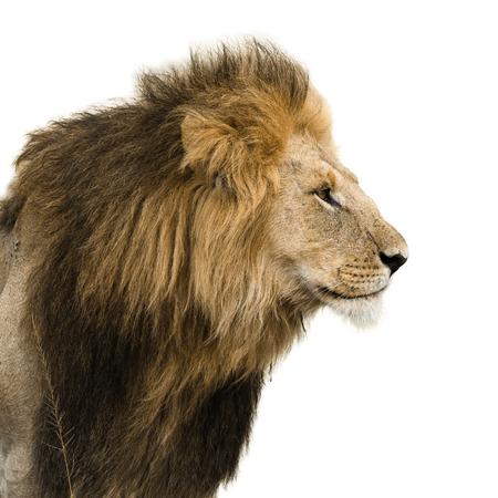 Grote mannelijke leeuw op wit wordt geïsoleerd Stockfoto