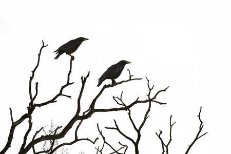 winter tree silhouette: Dead tree with crows isolated on white background