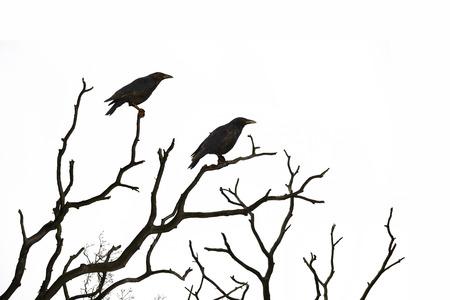 arboles secos: Árbol muerto con cuervos aislado en el fondo blanco