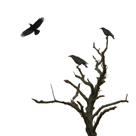 crow: Dead tree and crows isolated on white Stock Photo