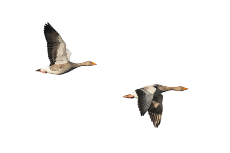 greylag: Two greylag geese in flight isolated