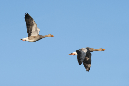 greylag: Two greylag geese in flight