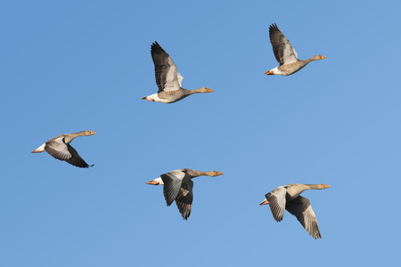 Flock of migrating greylag geese