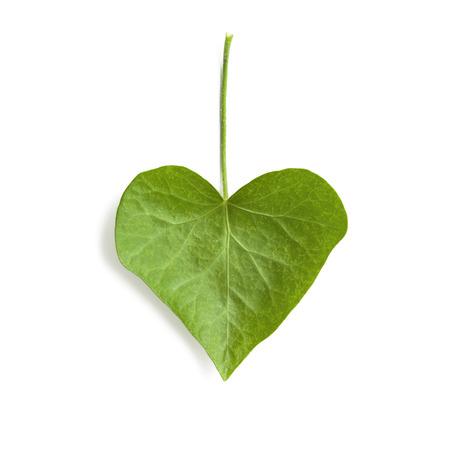 leaf shape: Ivy leaf heart shape isolated on white background Stock Photo