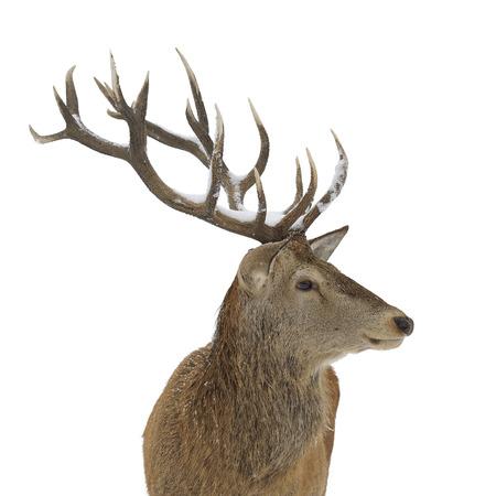 흰색 배경에 고립 된 붉은 사슴 초상화 스톡 콘텐츠