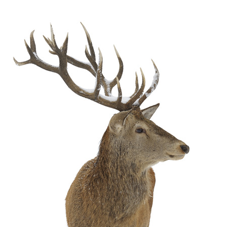 elaphus: Red deer portrait isolated on white background Stock Photo