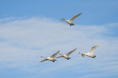 mute swan: Mute swans in flight on a blue sky with clouds