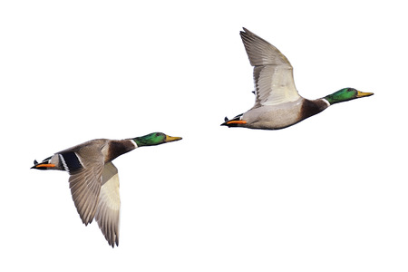 Northern mallard ducks in flight isolated on white Stock Photo