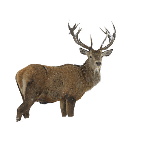 elaphus: Red deer standing in snow isolated on white Stock Photo