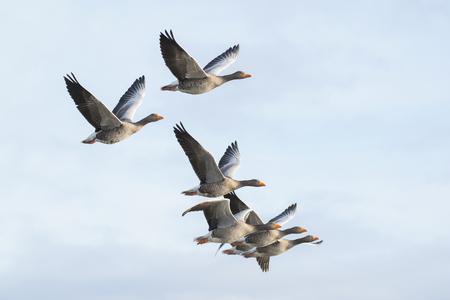 goose: Flock of greylag geese in flight Stock Photo