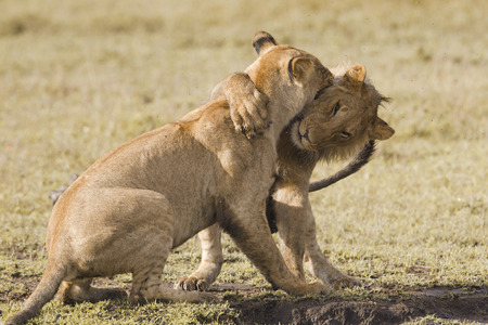 아프리카 사자 새끼 연주 스톡 콘텐츠