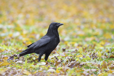 corax: Side view of a Carrion Crow standing on the ground Stock Photo