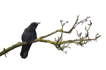 cuervo: Rama de árbol muerto con el cuervo aislado en blanco Foto de archivo