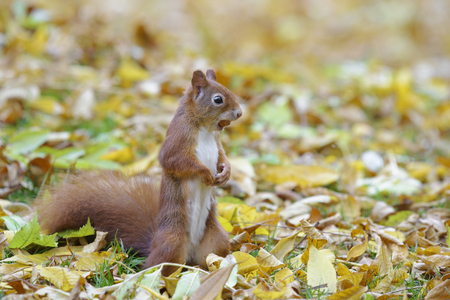 red squirrel: Red squirrel with nut standing on the ground