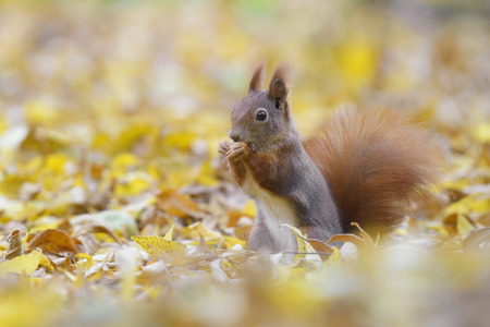 red squirrel: Red squirrel with nut on the ground Stock Photo