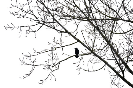 birds on branch: Silhouette of a crow on a tree isolated on white Stock Photo