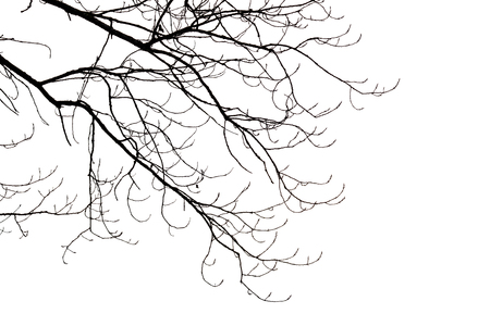 Silhouette of leafless branches isolated on white