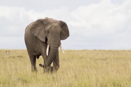 Afrikaanse olifant in savanne Stockfoto