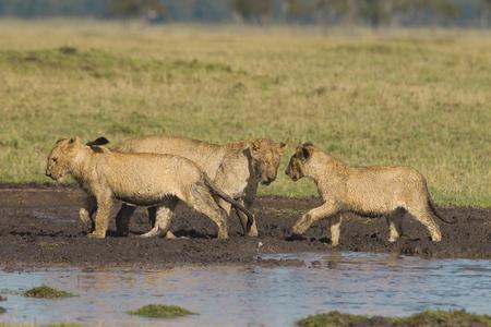 pozo de agua: cachorros de le�n africanos en el pozo de agua