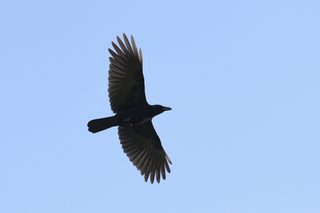 widespread: Flying Carrian crow with wide-spread wings