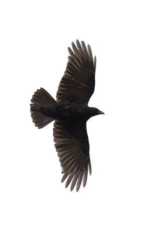 widespread: Carrian crow with wide-spread wings isolated on white