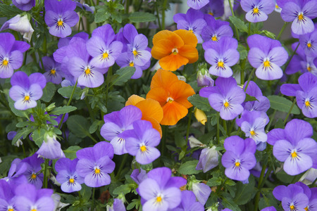 garden flowers: Close-up of Violet and Orange Pansies Stock Photo