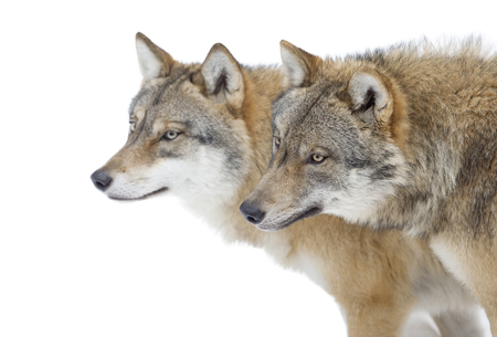 Two Grey wolves isolated on white