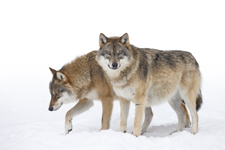 Two Grey wolves in the snow