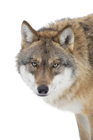 Grey wolf portrait isolated on white