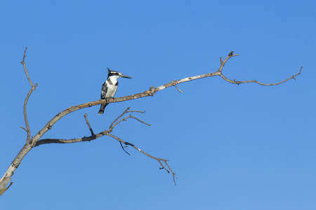 Okavango Delta: Pied Kingfisher, Botswana, Africa