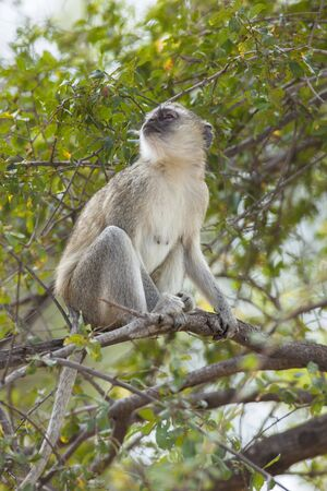 Vervet monkey sitting in a tree, Africa