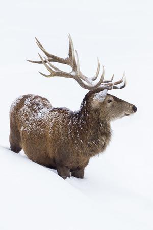cervus: Red deer standing in deep snow