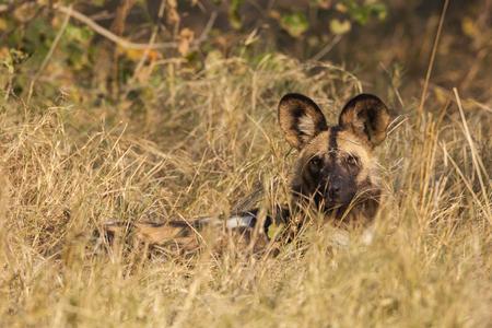 Wild dog (Lycaon pictus). Okavango Delta, Botswana, Africa