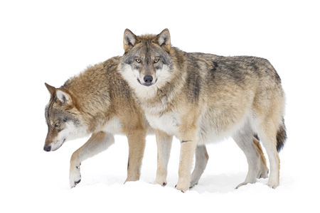 Two Grey wolves isolted on white background